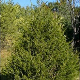 Juniper Cedar cypress tree