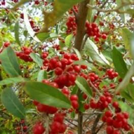 Flowering Olive