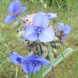 Little Doll Spiderwort - Lavender
