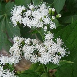 'Chocolate Snakeroot'