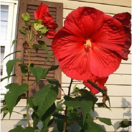 Red Hardy Hibiscus