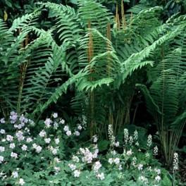 'Cinnamon Fern' Spores