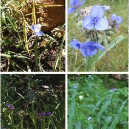 Mixed Spiderwort -Baby Blue
