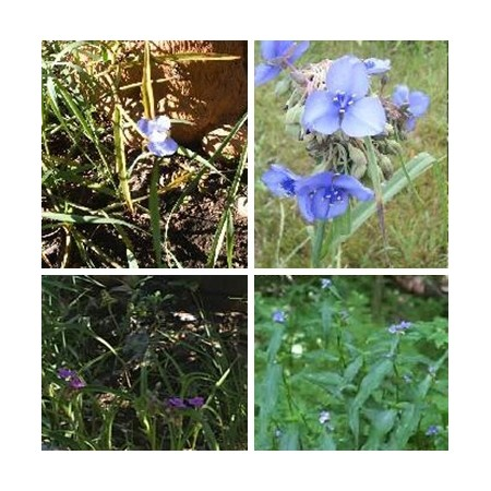 Mixed Spiderwort
