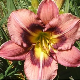 Daylily 'Always Afternoon'