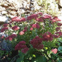 Sedum Mixed ('Brilliant', 'Autumn Joy' & 'Neon')
