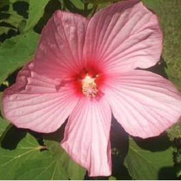 Hibiscus 'Southern Belle'