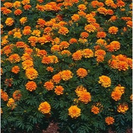 500+ French Marigold Seeds (Tagetes Patula)
