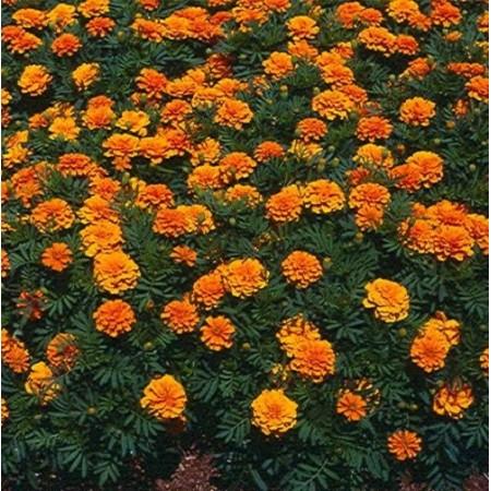 500+ French Marigold Seeds (Tagetes Patula)