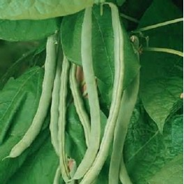 Missouri Wonder Pole Bean