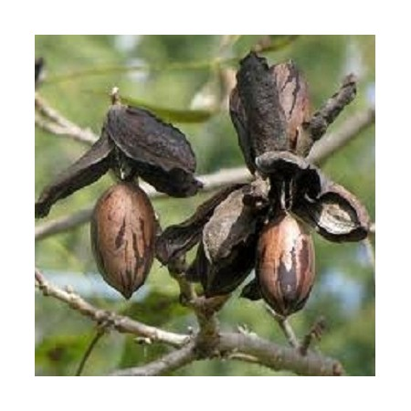 Northern Pecan - American Native