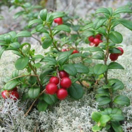 Lingonberry - Mountain Cranberry