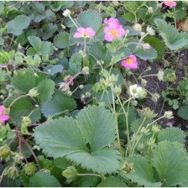 Pink and White Flowering Strawberry Seed Mix