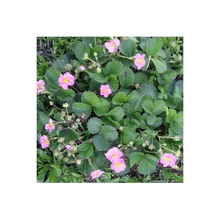 Pink Flowering Strawberry Seed Mix