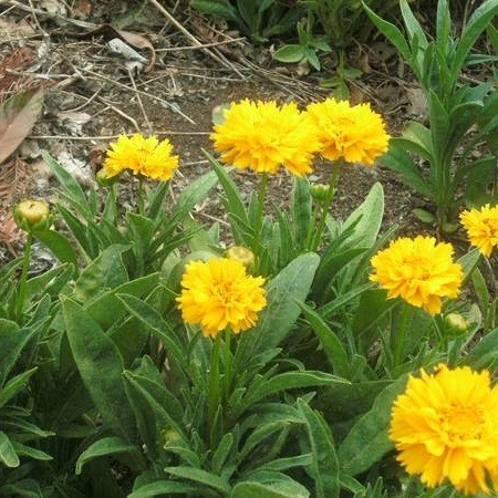 P11. 1 Coreopsis Early Sunrise Plant - Perennial