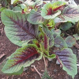 Amaranth - Red Stripe Leaf (Yin Tsai)